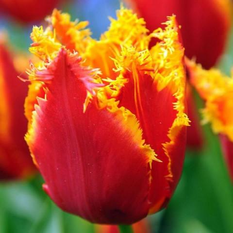 Тюльпан Бахромчатый Fabio