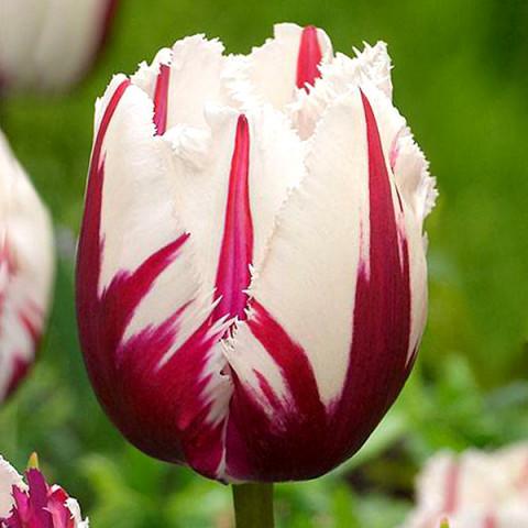 Тюльпан Бахромчатый Flaming Baltic