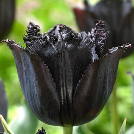 Тюльпан Оторочений Fringed Black