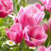 Тюльпан Бахромчатый Fringed Family