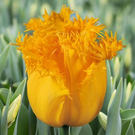 Тюльпан Бахромчатый Hamilton