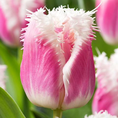 Тюльпан Бахромчатый Hawaii