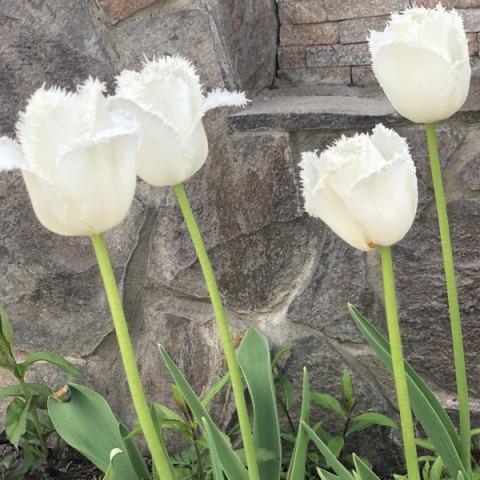 Тюльпан Бахромчатый Honeymoon