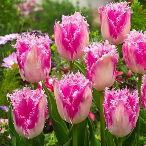 Тюльпан Бахромчатый Huis ten Bosch