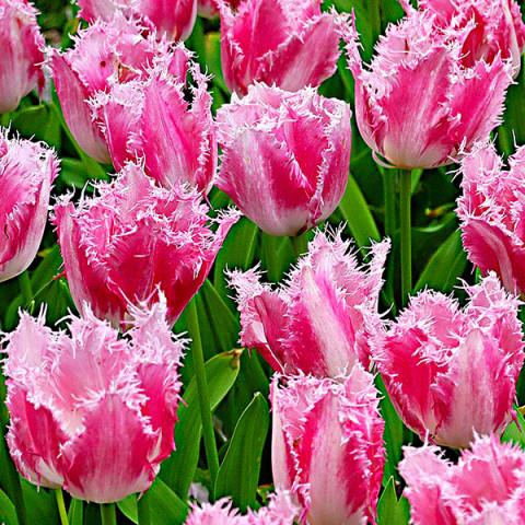 Тюльпан Бахромчатый Izumi