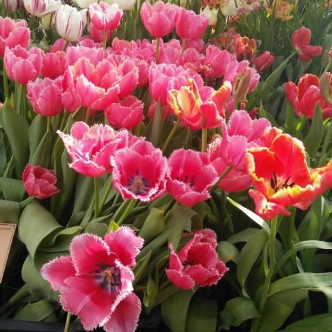 Тюльпан Оторочений Madison Garden