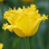 Тюльпан Бахромчатый Maja