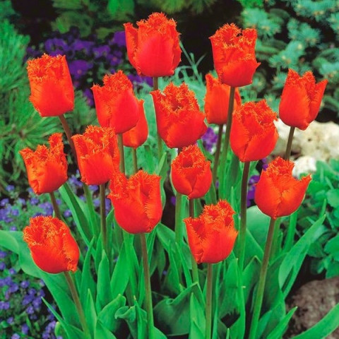 Тюльпан Бахромчатый Noranda