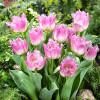 Тюльпан Бахромчатый Oviedo