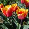 Тюльпан Оторочений Palmares