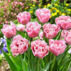 Тюльпан Оторочений Pink Magic