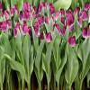 Тюльпан Бахромчатый Purple Crystal