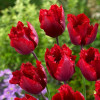Тюльпан Бахромчатый Red Hat