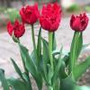 Тюльпан Бахромчатый Red Wing