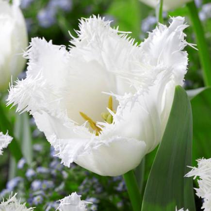 Тюльпан Бахромчатый Signature