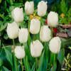 Тюльпан Бахромчатый Swan Wings