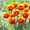 Тюльпан Бахромчатый Tiano