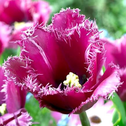 Тюльпан Бахромчатый Traveller