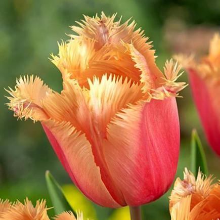 Тюльпан Бахромчатый Valbella
