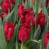 Тюльпан Бахромчатый Versace (спецпредложение)