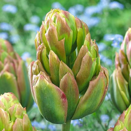 Тюльпан Махровый Boa Vista