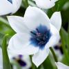 Тюльпан Ботанический Alba Coerulea Oculata
