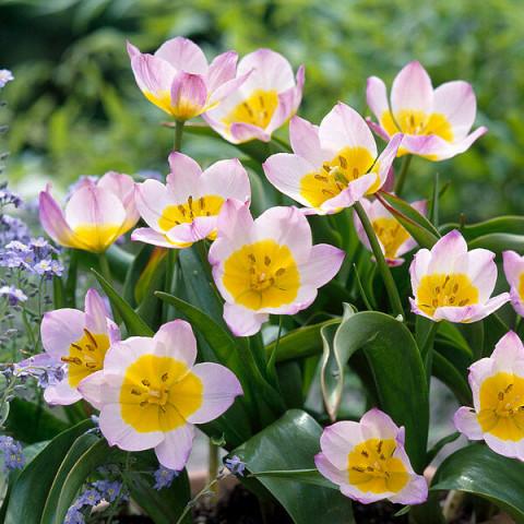 Тюльпан Ботанічний Bakeri Lilac Wonder