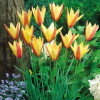 Тюльпан Ботанічний Chrysantha Selektle