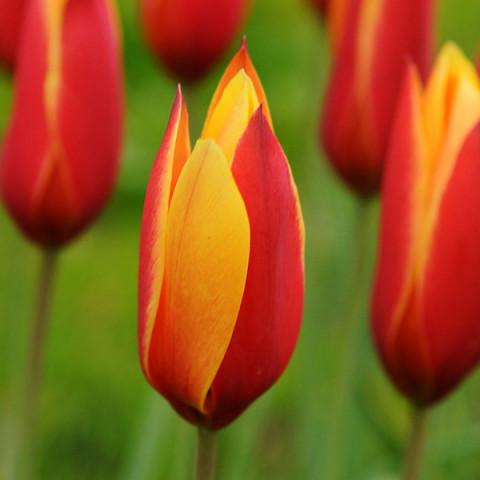 Тюльпан ботанический Clusiana var Chrysantha