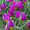 Тюльпан Ботанический Eastern Star