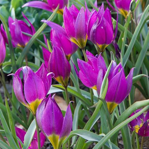 Тюльпан Ботанічний Eastern Star