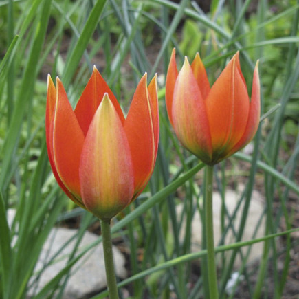 Тюльпан Ботанический Hageri