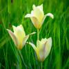 Тюльпан Ботанический Honky Tonk
