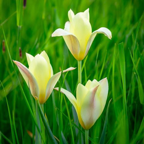 Тюльпан Ботанічний Honky Tonk