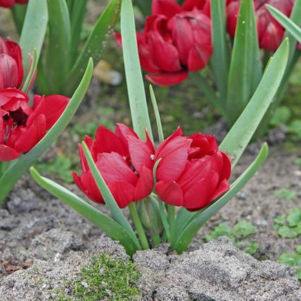 Тюльпан Ботанический Kurdica