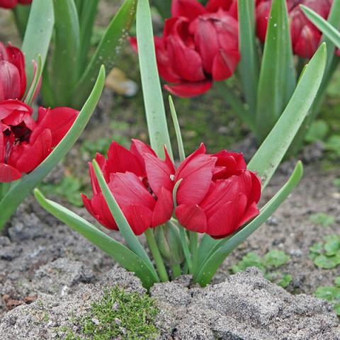 Тюльпан Ботанічний Kurdica
