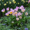 Тюльпан Ботанический Lilac Wonder