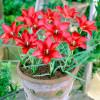Тюльпан Ботанічний Linifolia
