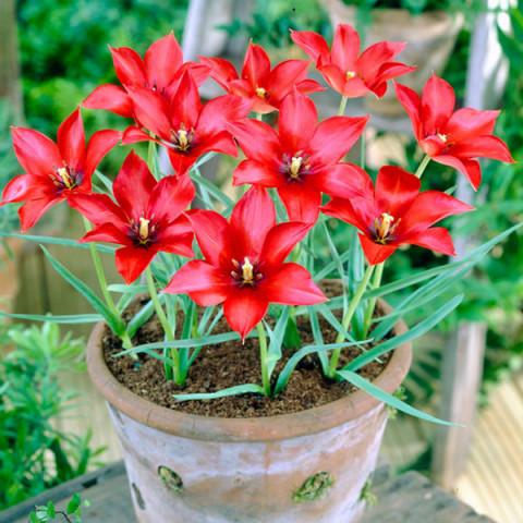 Тюльпан Ботанический Linifolia
