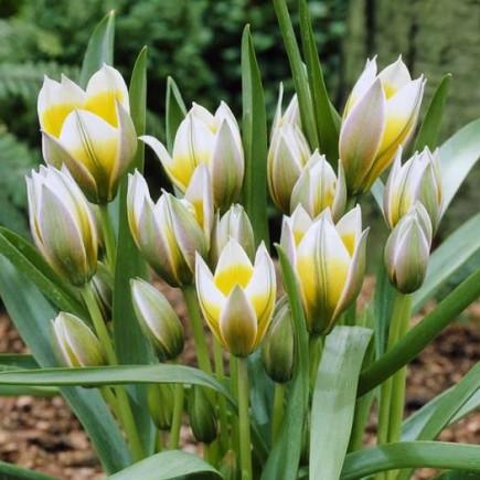 Тюльпан Ботанический Little Star