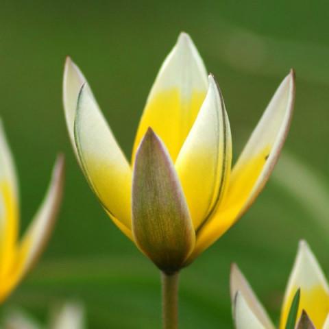 Тюльпан Ботанічний Little Star