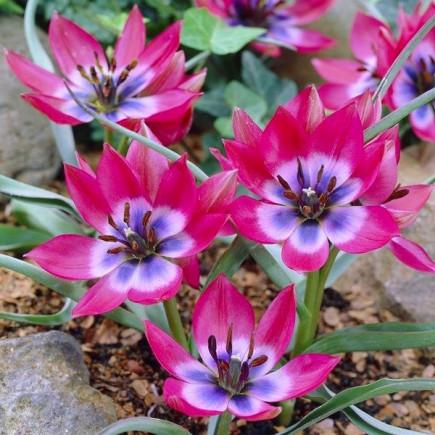 Тюльпан Ботанический Little Beauty