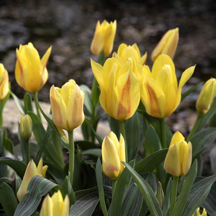 Тюльпан Ботанический Miskodeed