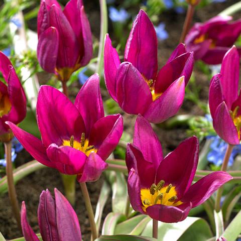Тюльпан Ботанічний Odalisque