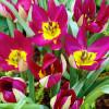 Тюльпан Ботанический Odalisque