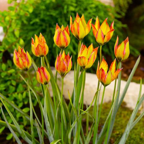 Тюльпан Ботанічний Orphanidea Flava