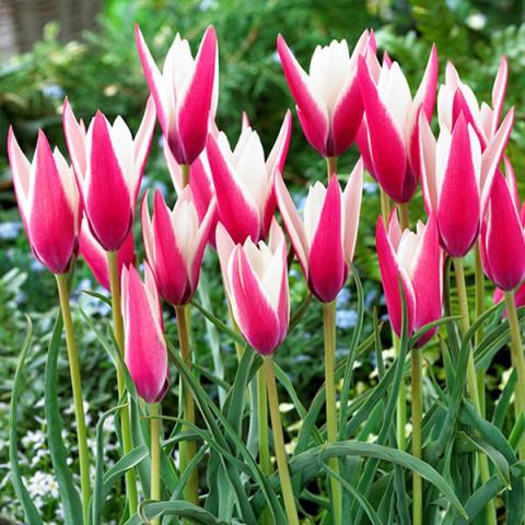 Тюльпан Ботанічний Peppermintstick