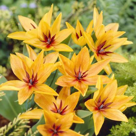 Тюльпан Ботанічний Praestans Shogun