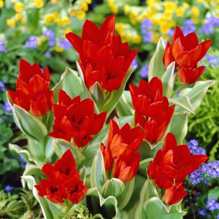 Тюльпан Ботанічний Praestans Unicum