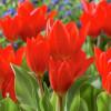 Тюльпан Ботанічний Praestans Van Tubergen's Variety